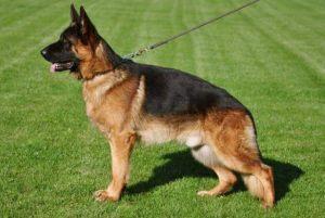 dog-training15