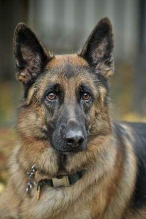 german-shepherd7