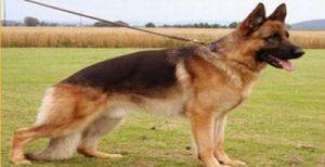 dog-protection-training05