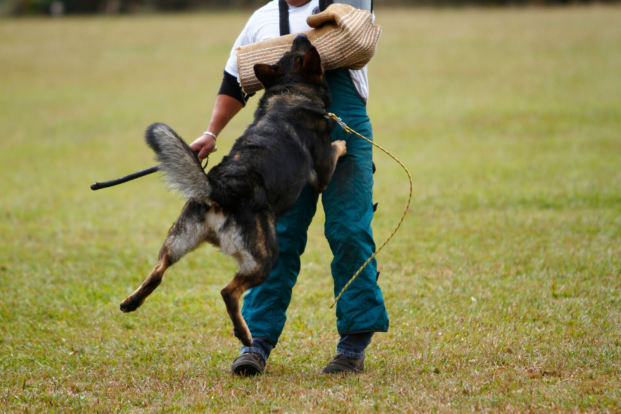 german shepherd in schutzhund training